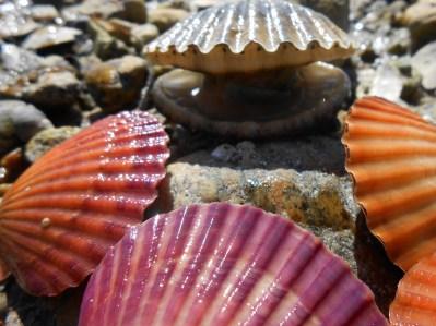 Atlantic bay scallop, Agropectens irradians