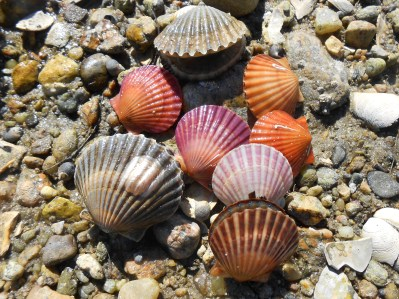 Atlantic bay scallop, Agropectens irradians