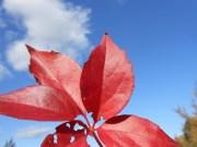 Virginia creeper, Parthenocissus quinquefolia, Byfield, Massachusetts