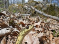 Common Garter Snake, Thamnophis sirtalis, Newbury, Massachusetts (8)