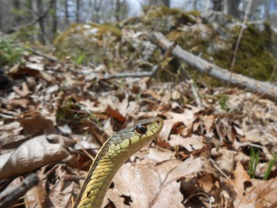 Common Garter Snake, Thamnophis sirtalis, Newbury, Massachusetts (9)