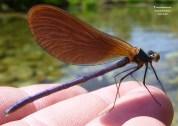 libelinha mancha dragonfly serra da estrela