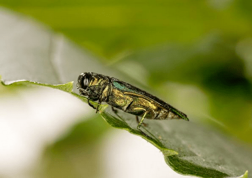Emerald Ash Borer has made it to NH.