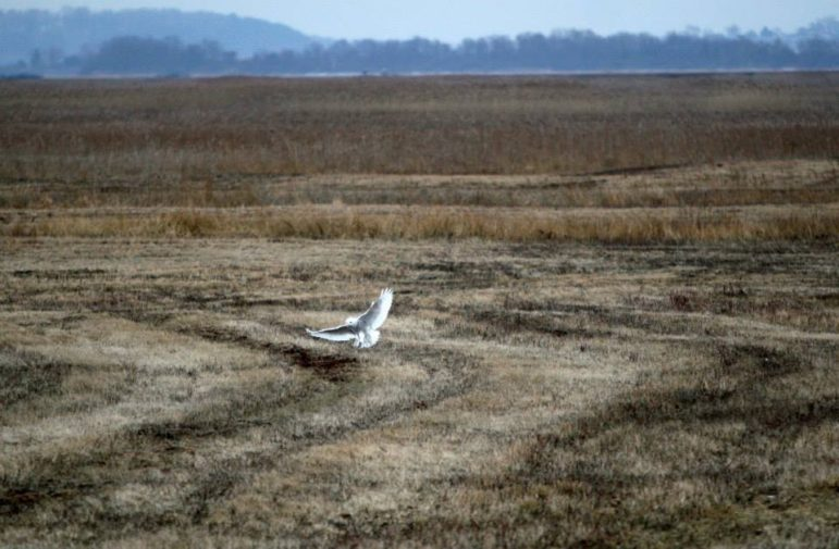 During a large irruption of snowy owls down from the Arctic, there were several snowy owls living all during late fall 2013 and winter 2014 at the Parker River National Wildlife Refuge on Plum Island in Newburyport, Mass. People came daily to take photos and observe them.