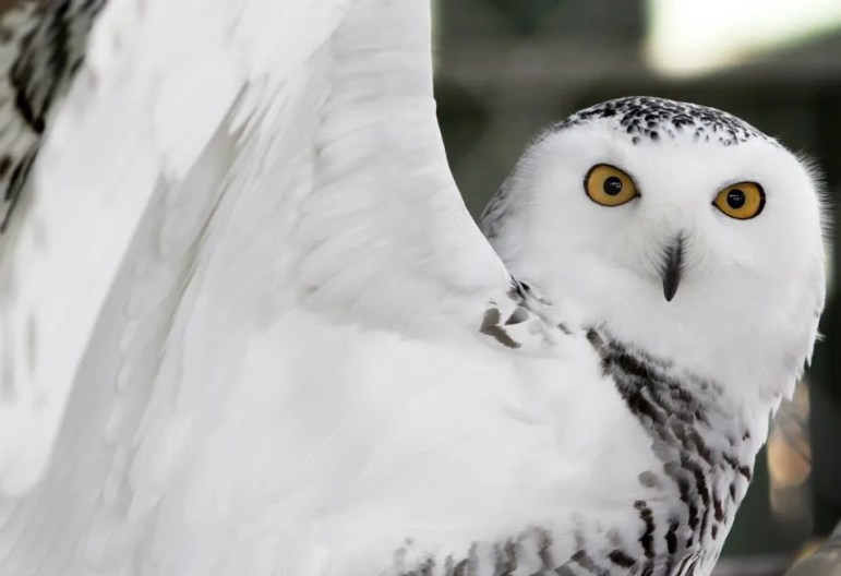 This female snowy owl is a longtime resident of the Vermont Institute of Natural Sciences in Quechee, Vt., and is an animal ambassador there.
