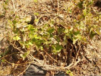 Native Grape Varietals