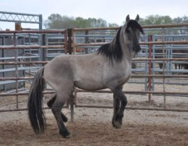 Grulla Horse 3907: Beautiful horse in a difficult situation.