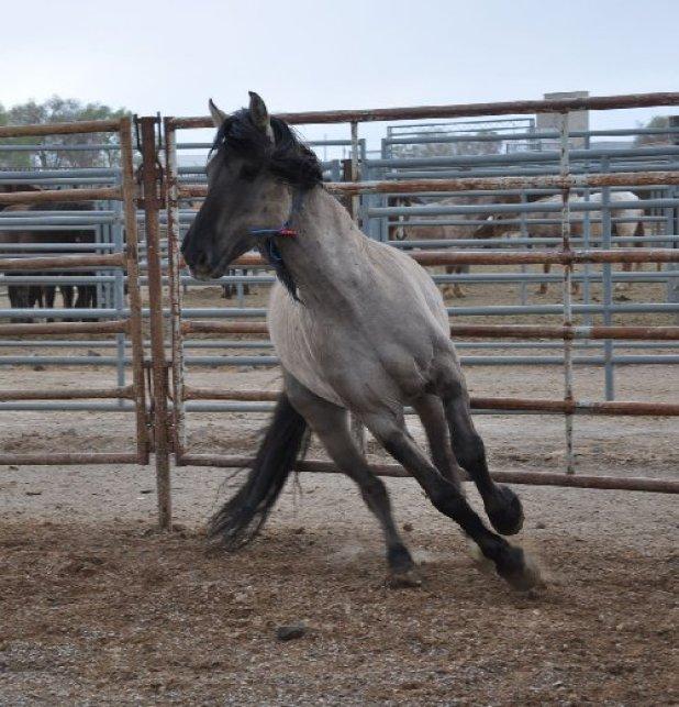 Grulla_stallion_1