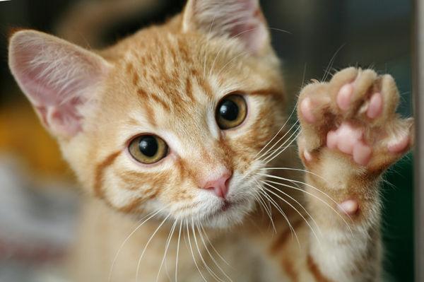 Comportamento e lateralizzazione nel gatto domestico