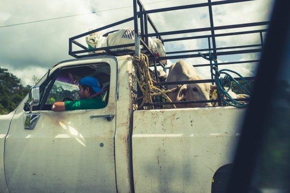 Pickup mit Kuh auf Ladefläche in Mexiko