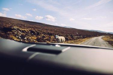 Roadtrip Sheep