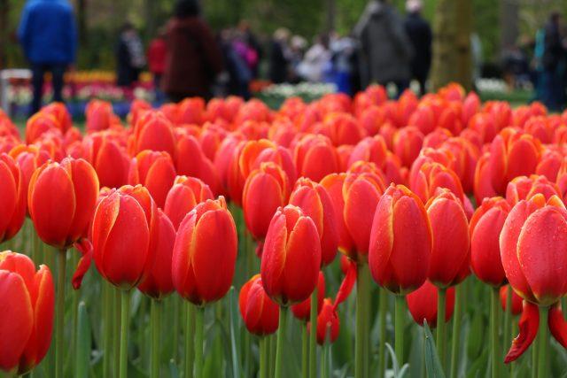 Red tulips Keukenhof Escorted Motorhome Tour