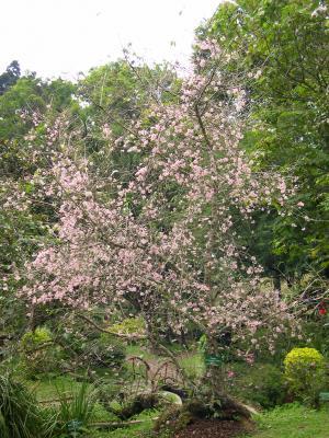 bunga sakura di kebun raya cibodas