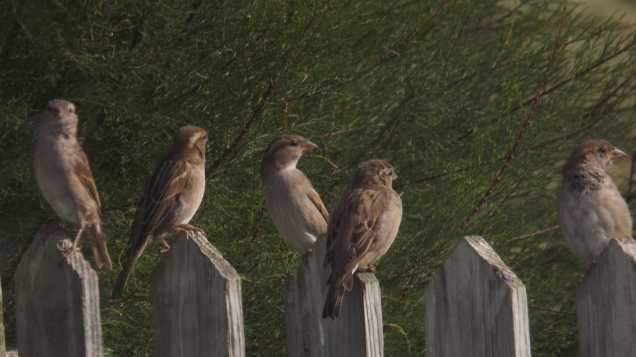 Sparrows queuing for the feeder at Mandalay