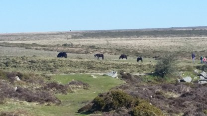 We saw many groups of Dartmoor ponies this time - more than I have seen any other time I've been there