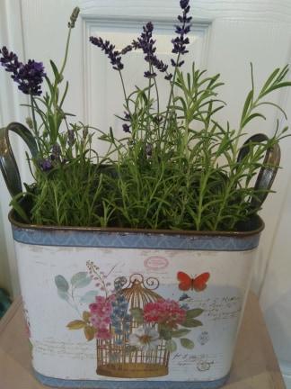 Vintage tin pot with lavender plant
