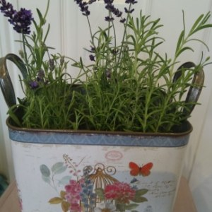 Vintage tin pot with lavender plant