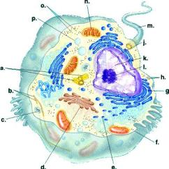 Eukaryotic Endomembrane System Cell Diagram Bmw X5 Speaker Wiring Structure And Function Components