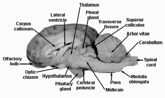 internal brain diagram volume and tone pot wiring human structure sheep structures