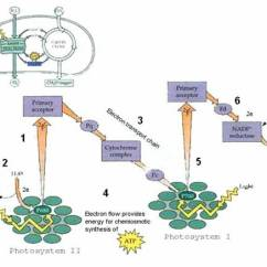 Electron Transport Chain Diagram For Dummies 4 Wire Pc Fan Cyclic Vs Non Flow When Photosystem Ii Absorbs Light An Excited To A Higher Energy Level In The Reaction Center Chlorophyll P680 Is Captured By Primary