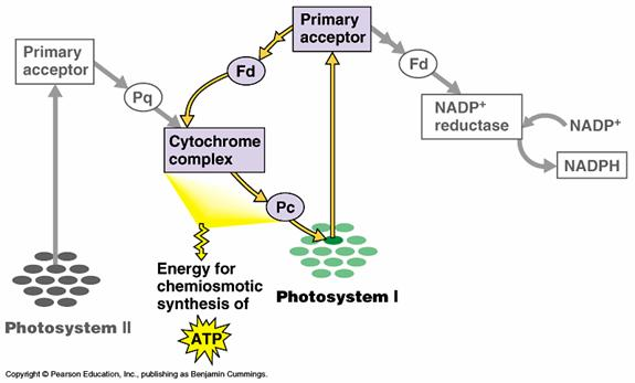 light reactions photosystem diagram citroen c5 estate towbar wiring cyclic vs non electron flow the calvin cycle will slow or even stop chloroplast continue photophosphorylation until atp supply has been replenished