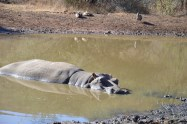 Hippopotamus / Hippopotame
