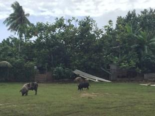 Pigs roam free here in Nuku'alofa
