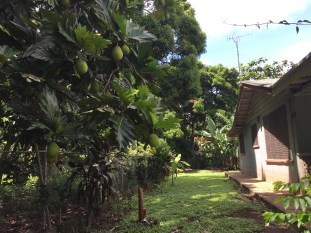 Breadfruit by the side of the house