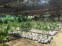 Coconut seedlings at the forestry division
