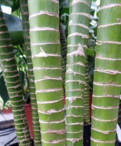 Dracaena Tiger's Bamboo