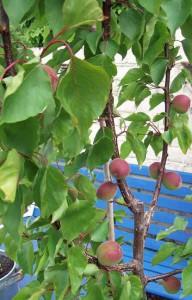 Apricot Kioto