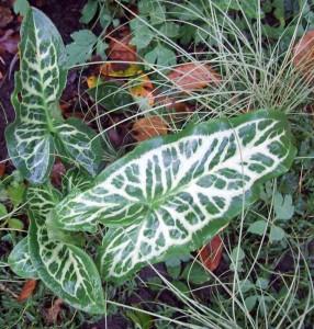 Arum italicum marmoratum and Carex grass