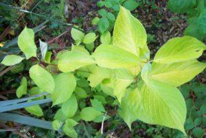 Cornus alba Aurea's summer foliage