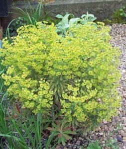 Euphorbia martinii Ascot Rainbow