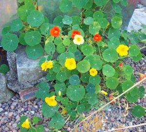 Self-seeded nasturtiums