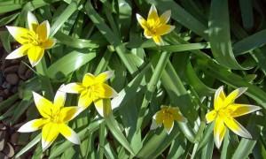 Species tulip T. tarda