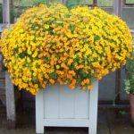 Top marigolds for 2017