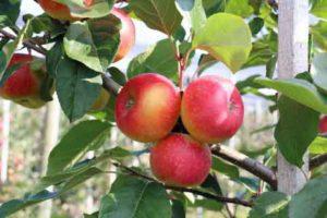 Lubera's EU-baiting Apple Paradis The Forbidden Apple