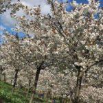 Tai Haku cherry trees at The Alnwick Garden