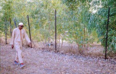 8855022 b8194be08e4a4a1eaec473084676b095 jpeg jpeg34f390ecc48b69015aae5882e4033894 - President Buhari Spotted At His Farm In His Hometown Daura, Katsina (Photos)