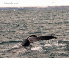 whale_iceland_1
