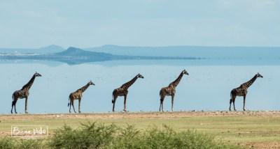 tanzania minyana jirafes
