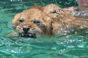 The Fierce Lady Lions swim their way to the top recently beating Lyman Hall