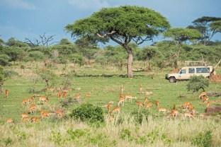 Antilopen_Serengeti 2017-2-2
