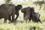 Elefanten Serengeti-feb 2017-6-2