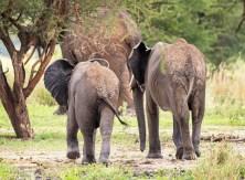 Elefanten Tarangire-2017-3-2