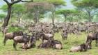 gnus u zebras serengeti 2017-1-2