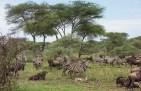 Gnus u Zebras Serengeti 2017-2-2