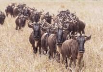 gnus u zebras serengeti migration 2017-7-2