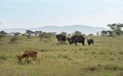 Kongoni u Elefanten Serengeti feb 17-1-2